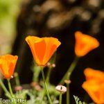 Poppy's in the field