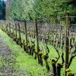 Grape vines pruned for the new season