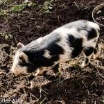 A herd of pigs were feeding on the hillside.